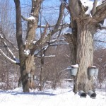 Old Sugar Maple in Winter with sap buckets