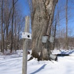 Sign and Sugar Maple at Hurry Hill Farm