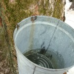 Collecting Sap from the Maple Trees